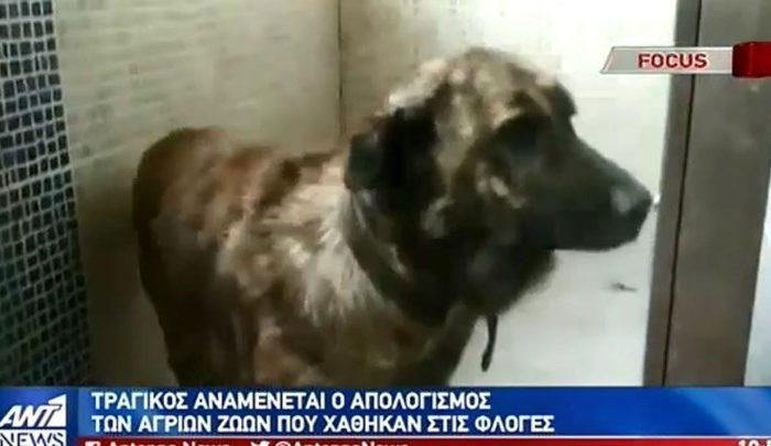 Φωτιά στην Εύβοια: Τραγικός αναμένεται ο απολογισμός για τα ζώα - ΒΙΝΤΕΟ