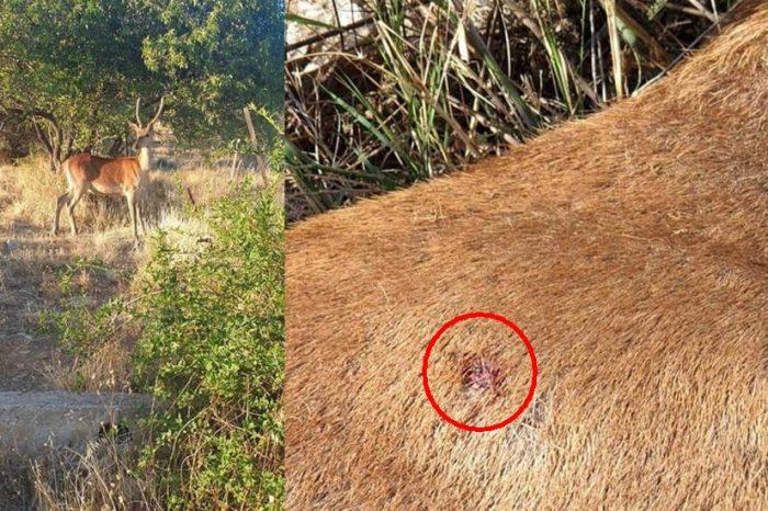 Τελικά το χειρότερο ζώο είναι ο άνθρωπος… Σκότωσαν το ελαφάκι της Πάρνηθας