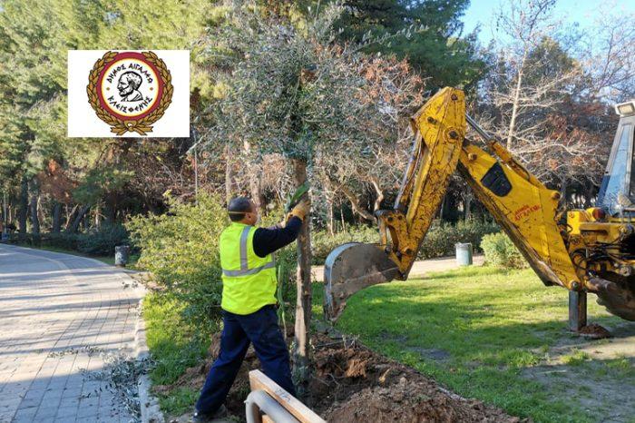 Μεταφύτευση αιωνόβιων δέντρων στο Αιγάλεω